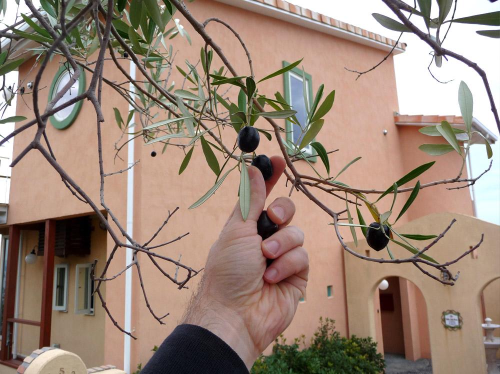 庭のオリーブの木